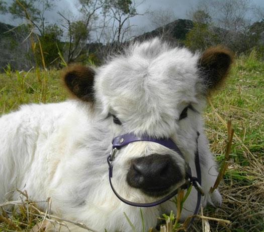 Adopt A Calf Miniature Cattle